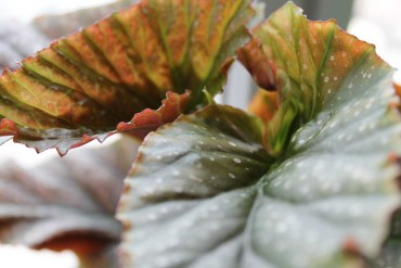curiosity: Begonia l'escargot