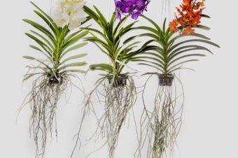 curiosity: vanda orchid