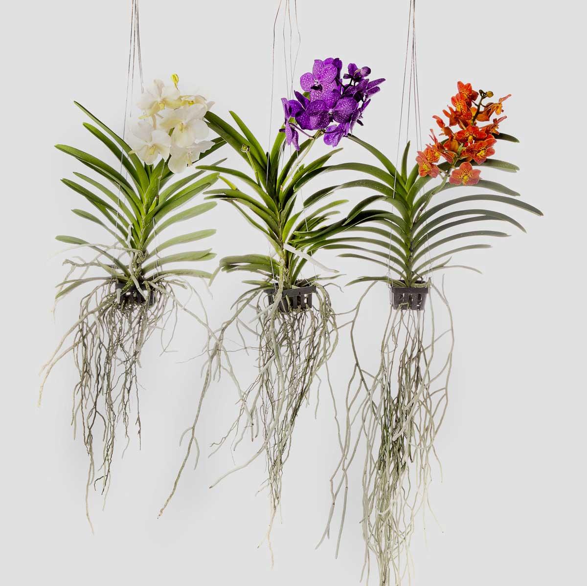 Curiosit orchidea vanda artemisia fioristi firenze for Radici orchidea