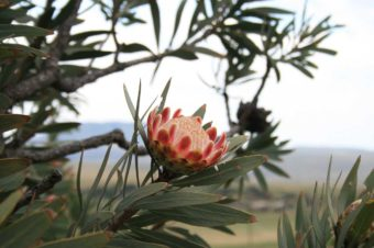 curiosity: King Protea
