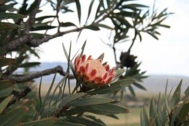 curiosità: Protea King