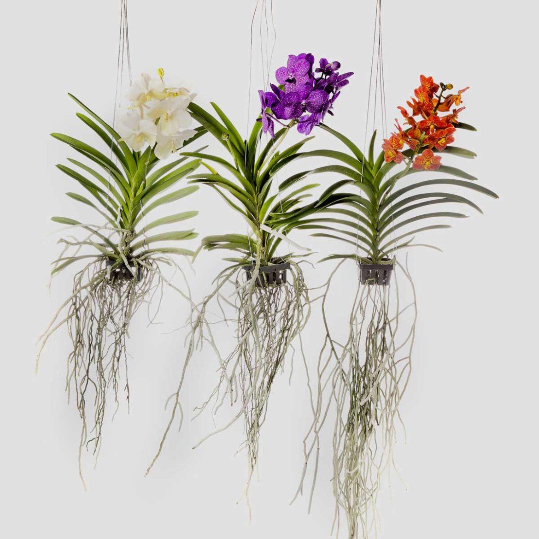 curiosità: Orchidea vanda